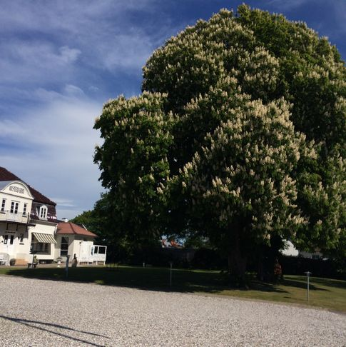 The chestnut tree in Ølsted